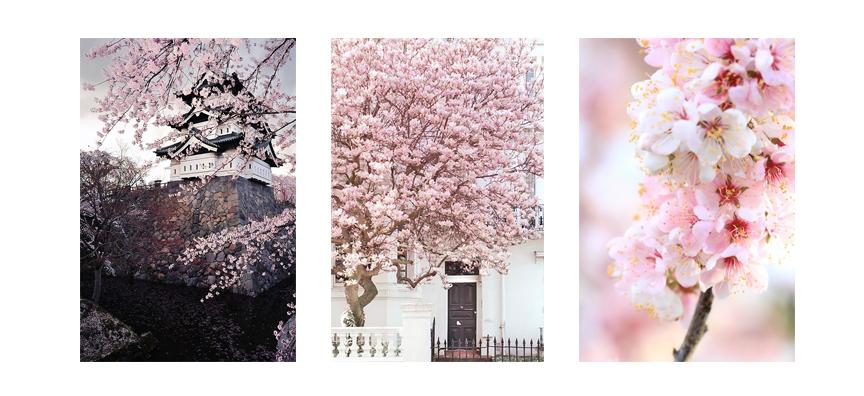COTW---May-Week-1-cherry-bloosoms